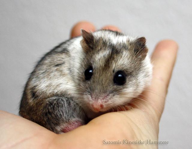 Kinesisk hamster